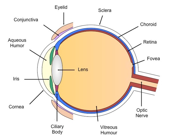 Diagram Of The Eye Labeled Parts Of The Eye And Their Functions