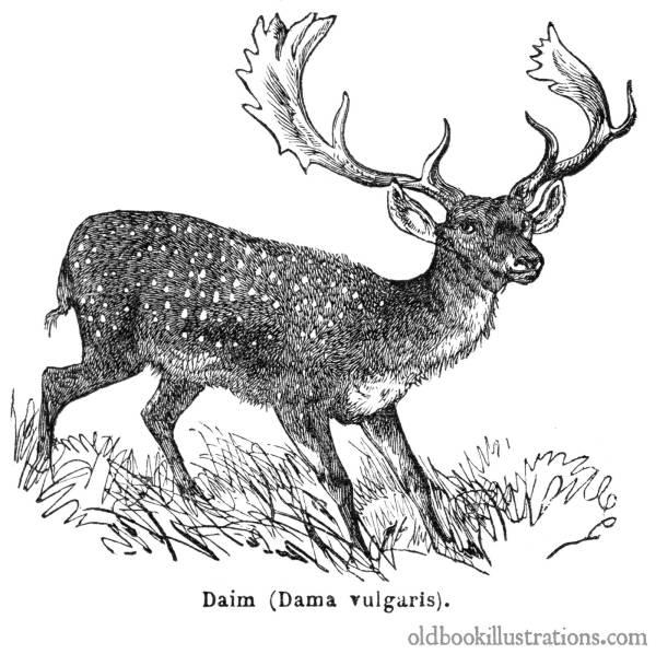 Fallow Deer Book Illustrations
