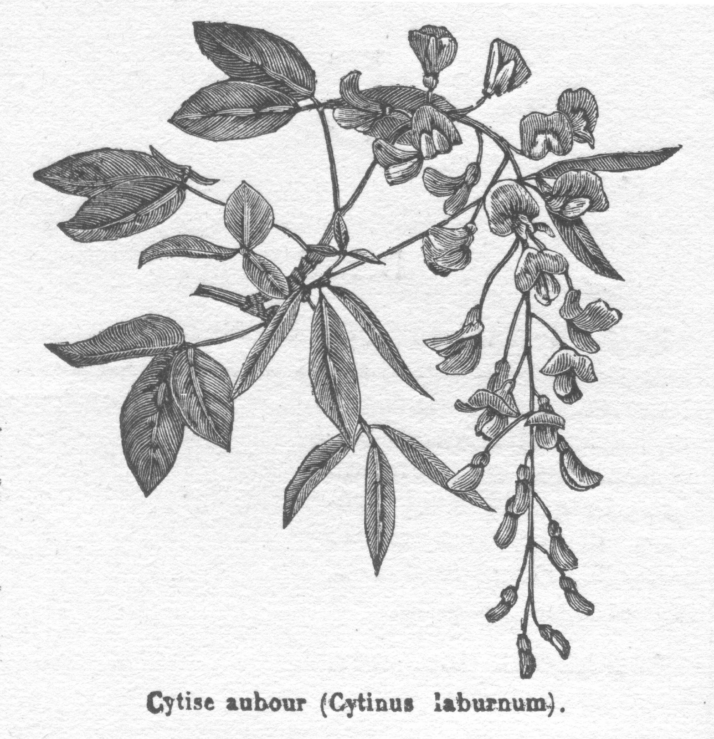 Common Laburnum (Golden Chain Tree)