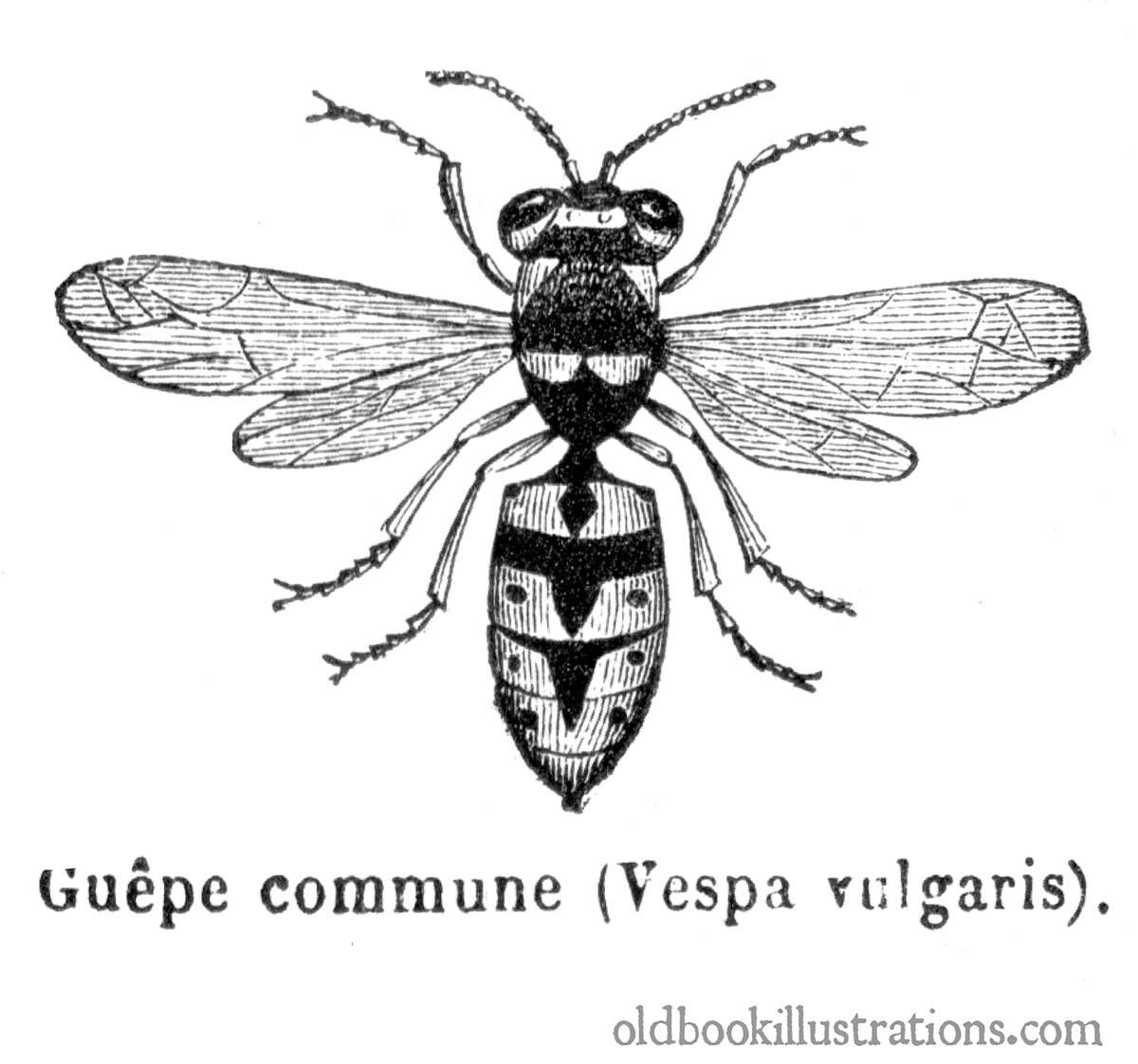 Wasps In La