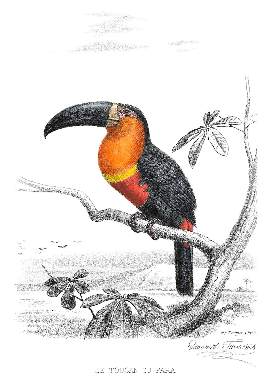 Ariel Toucan  Old Book Illustrations
