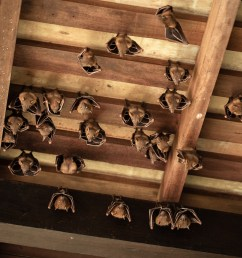 the last thing many homeowners want to see a colony of bats has settled in the attic of this old house  [ 1200 x 900 Pixel ]