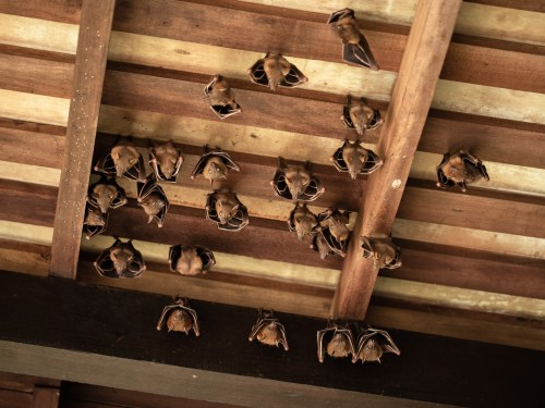 small resolution of the last thing many homeowners want to see a colony of bats has settled in the attic of this old house