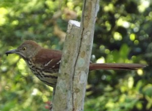 Wildeyed Brown Thrasher