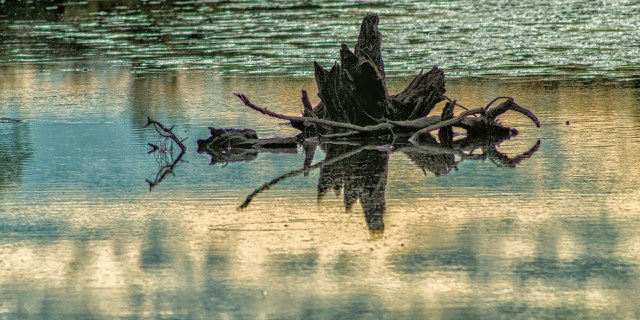 Tree stump in a withering lake