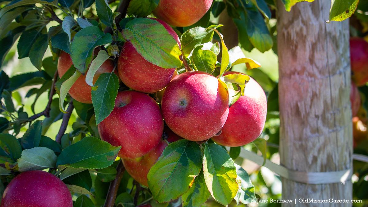 Honeycrisp apples on Ward Johnson's farm on the Old Mission Peninsula   Jane Boursaw Photo