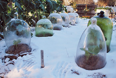 Image result for images of cloche used in a winter garden outside