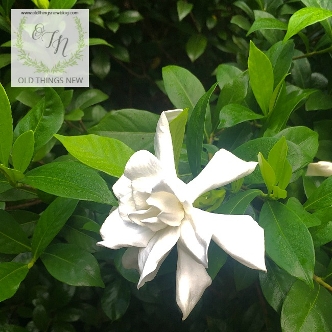 Gardenia Rebloom