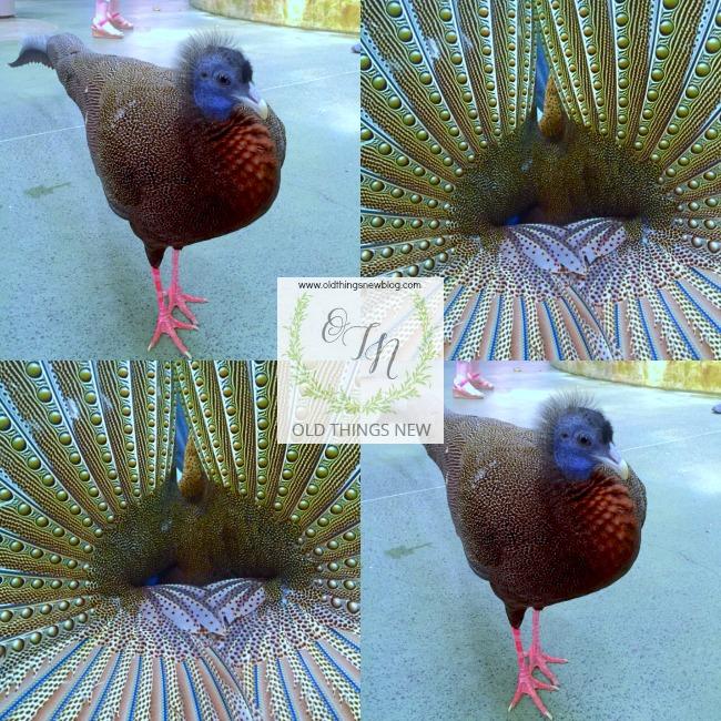 Gus the pheasant
