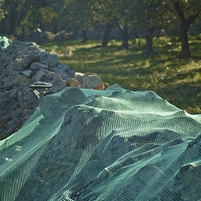 La-raccolta-delle-olive-reti