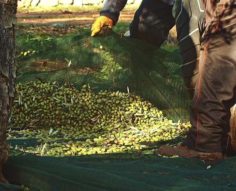 olio-extravergine-raccolta-olive
