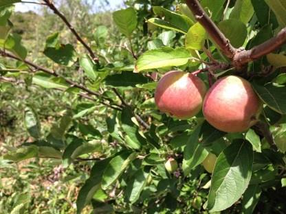 Apfelbäume auf La Gomera