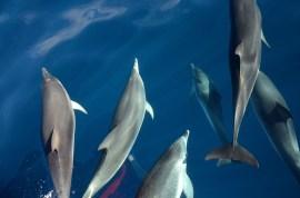 Delfine im Meer vor La Gomera