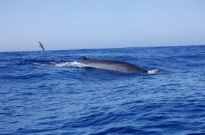 Walrücken und Vogel vor La Gomera