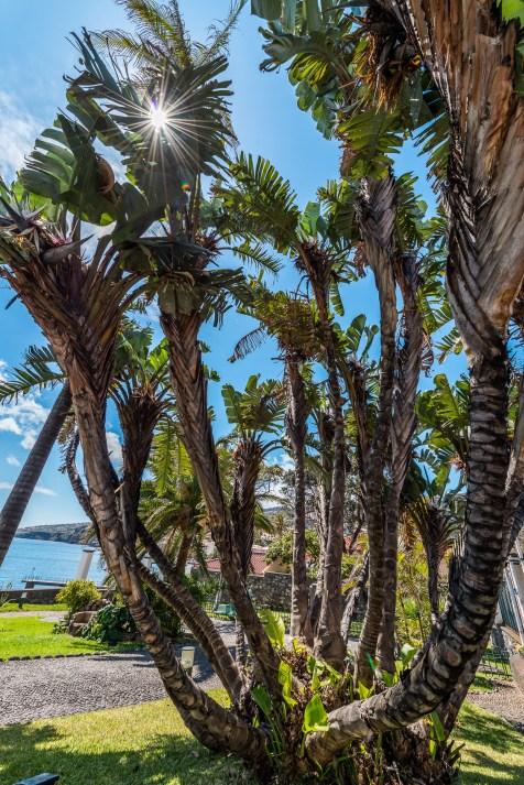 Palmen an Promenade Madeira