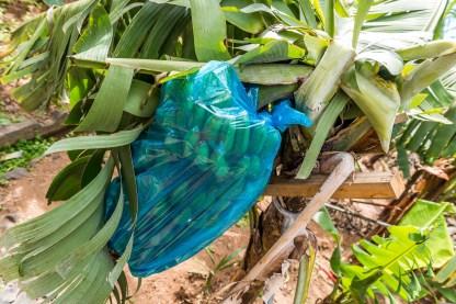 Bananen in Plastifolie Madeira