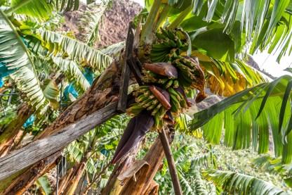 Bananen an Staude Madeira