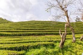 Bäume in Teeplantage Azoren Sao Miguel