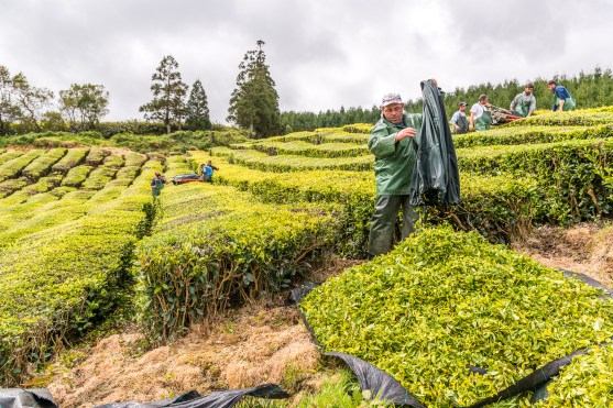 Arbeiter ernten in Teeplantage Cha Gorreana Azoren Sao Miguel