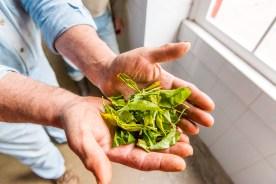 Hände mit frisch gepflückten Teeblättern Azoren
