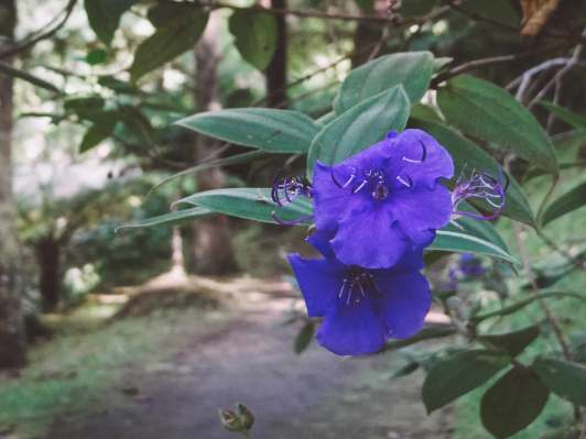 Blaue Blüten im Terra Nostra Park