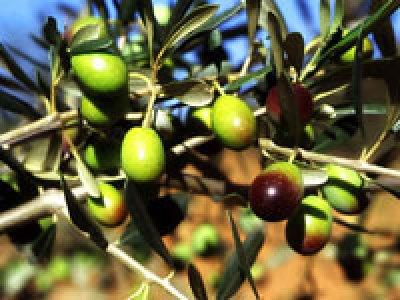 Olio extravergine d'oliva biologico Fanciulli - Tipo di cultivar: Frantoio
