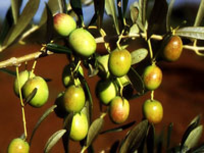 Olio extravergine d'oliva biologico Fanciulli - Tipo di cultivar: Leccio del Corno
