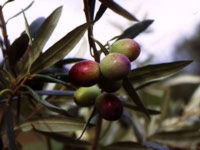 Olio extravergine d'oliva biologico Fanciulli - Tipo di cultivar: Maurino