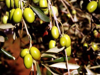 Olio extravergine d'oliva biologico Fanciulli - Tipo di cultivar: Ornellaia