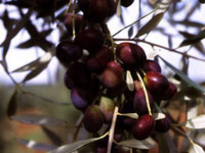 Olio extravergine d'oliva biologico Fanciulli - Tipo di cultivar: Pendolino