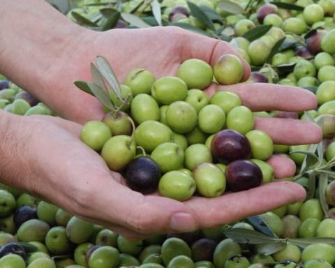 Aceitunas de la Sierra de los Pedroches. Aceite Ecológico