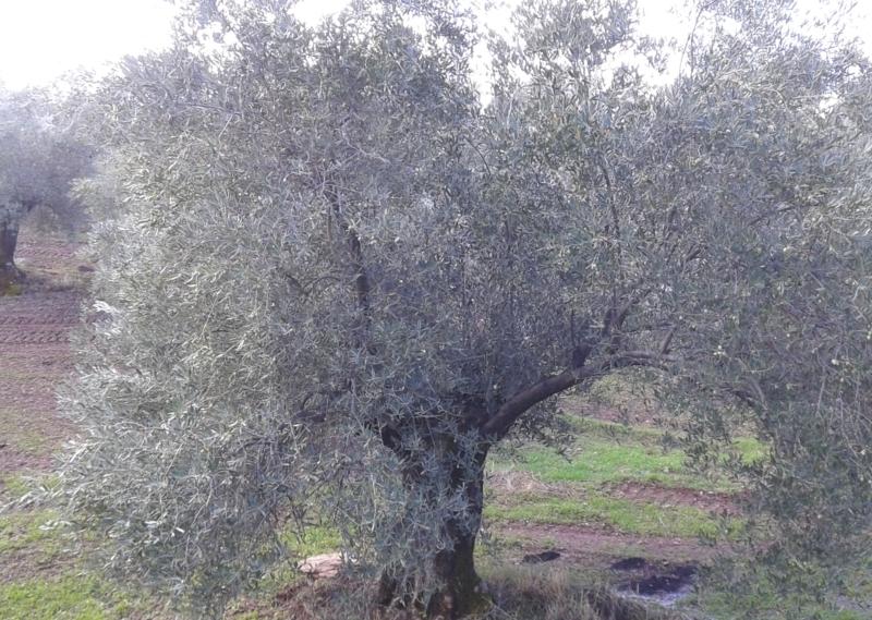 Tratamiento Olivar de Sierra Ecológico Los Pedroches
