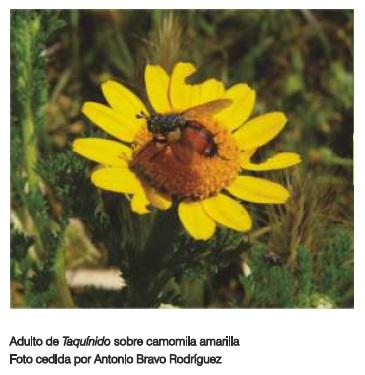 adulto de taquinido camomila amarilla olivar de sierra los pedroches aceite ecologico olipe olivalle olivarera