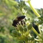 flor abeja aceite ecologico olivar de sierra los pedroches olipe olivalle olivarera
