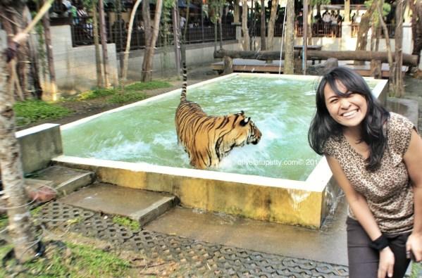main sama harimau di chiang mai