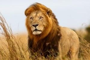 Cecil The Beloved Lion