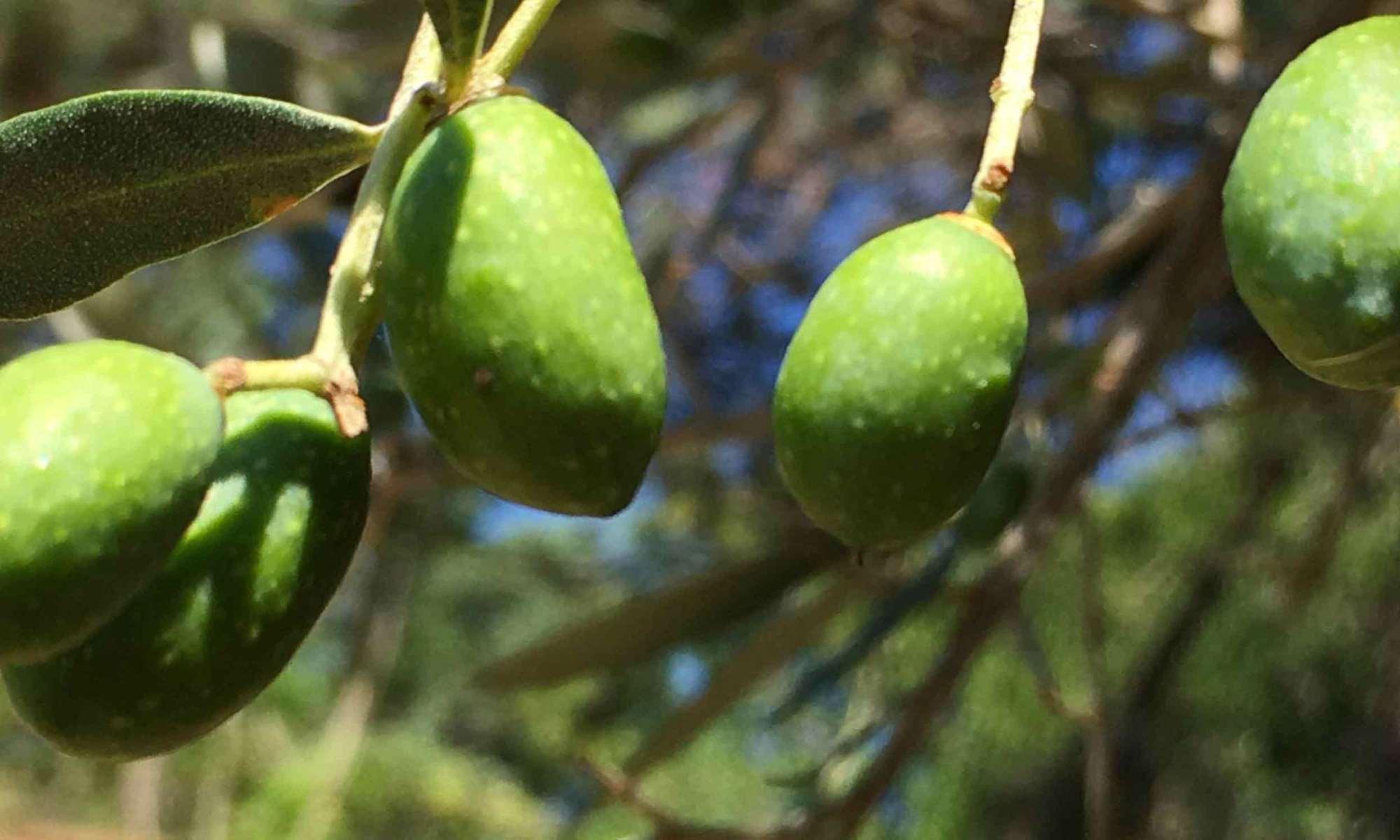 Foto delle olive in maturazione
