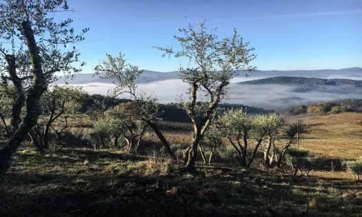 Olivi a Montepescini