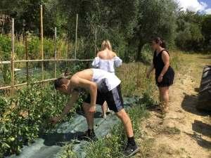 Raccolta dei pomodori per la bruschetta