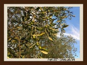 Olive in maturazione