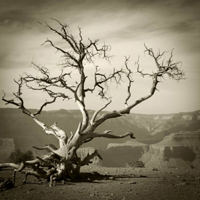 craggy tree