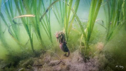 posidonie, precieuse pour la faune aquatique