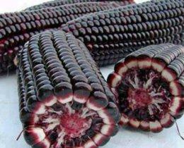 Μοβ βιολογικό καλαμπόκι από οικοτεχνία στην Πιερία