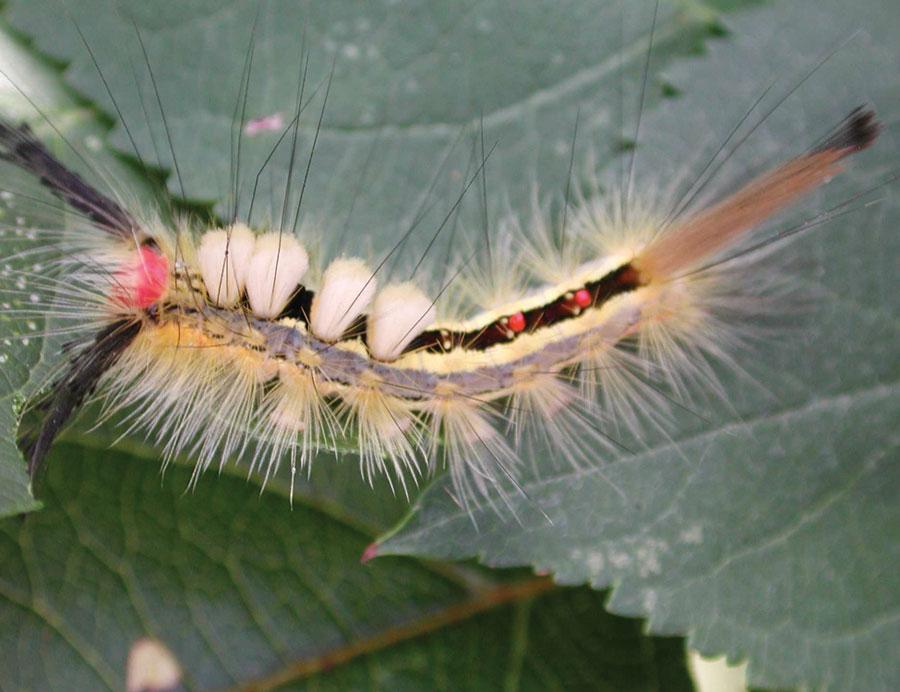 Image result for tussock moth