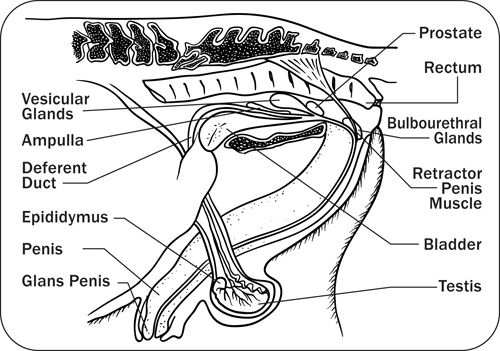 Anatomy, Physiology and Reproduction in the Stallion