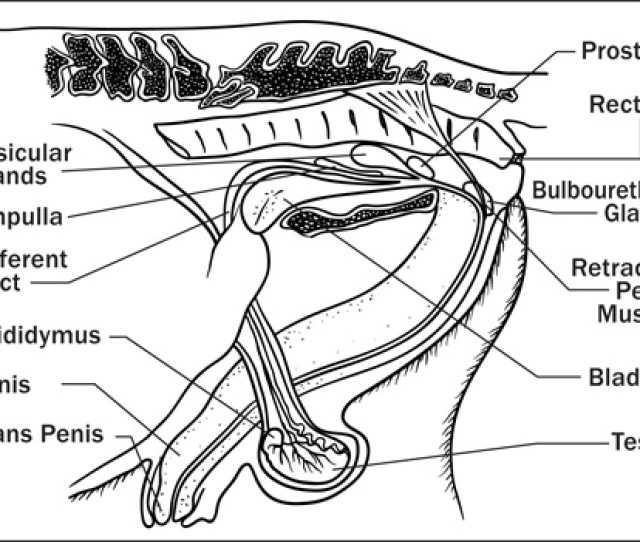 Diagram Showing The Sagittal View Of Stallion Reproductive Structures