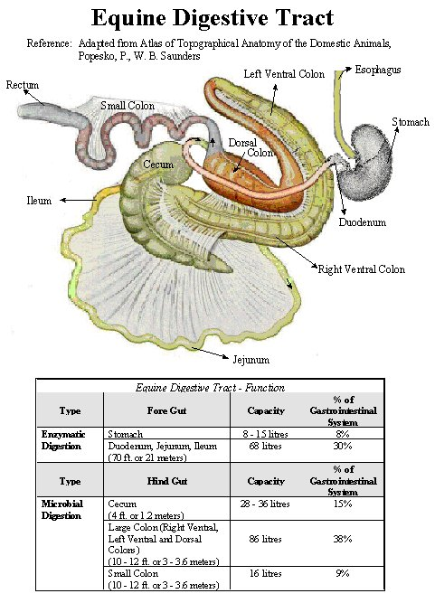 horse gi diagram suzuki vl 1500 wiring equine digestive tract structure and function