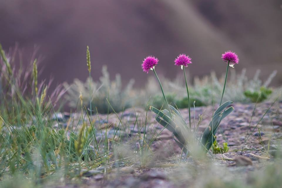herb-medicine-journey-trekking-condition-omalaya-ladakh-kargil-sapi-la-header