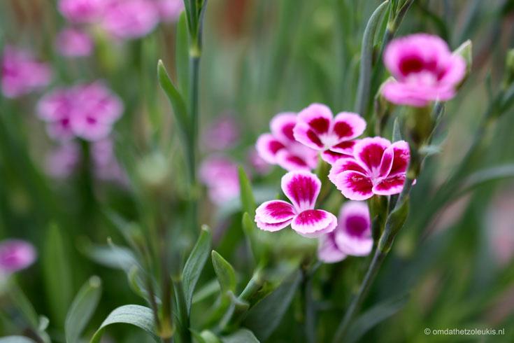 anjer pink kisses, Dianthus caryophyllus 'Pink Kisses', cadeau voor moederdag, moederdagcadeau #moederdag #tuinplant #perkplant