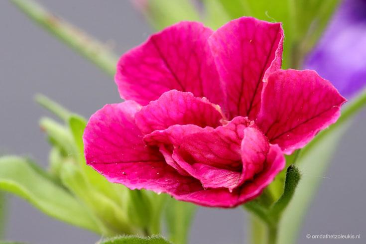 mini-petunia, Calibrachoa, roze bloemen, cadeau voor moederdag #moederdag #tuinbloemen #perkplanten